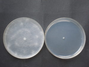 phityum metabolita G conc 1